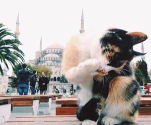 sultanahmet mosque and istanbul cat image