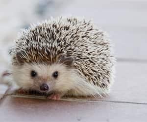 hedgehog and animal image