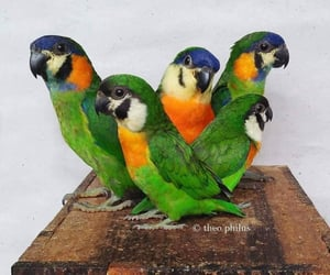 birds, parrots, and orange breasted fig image