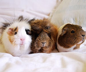 adorable, guinea pigs, and pet image