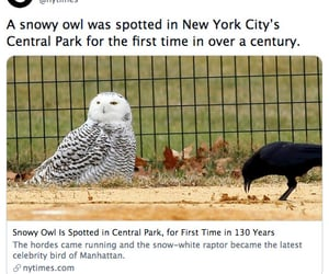 Central Park, new york city, and snowy owl image