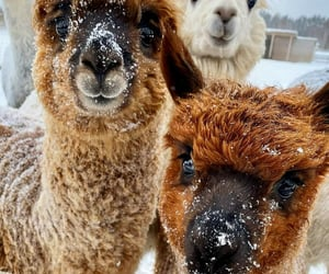 alpaca, animals, and nature image