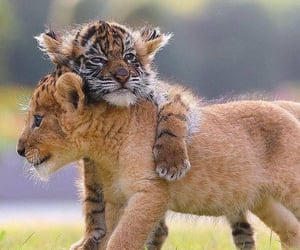 cuteness, tiger, and cute image