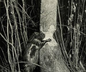 beaver, old photo, and sepia image
