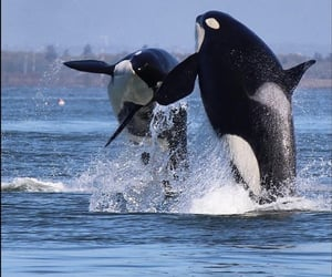 animals, sea, and killer whales image