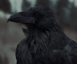 black, crow, and animal image
