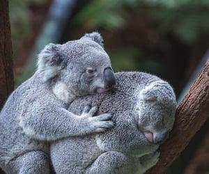 Koala, animal, and australia image