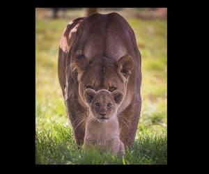 lion cub, back up, and mama lion image