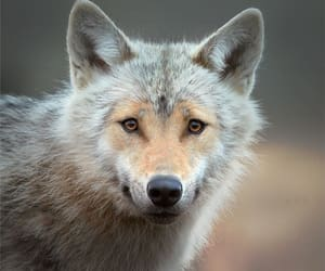 grey wolf and beautiful creature image