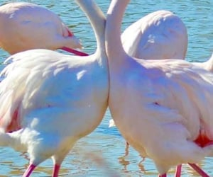 amour, coeur, and flamands roses image
