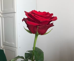 redrose, red, and whi image