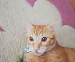 animals, cat, and nova image