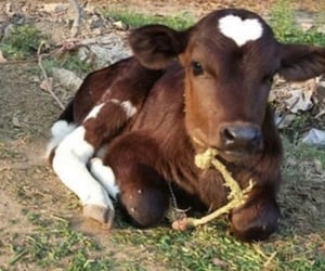 cow, animals, and nature image