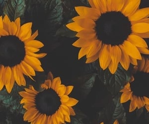 sunflower, flowers, and wallpaper image