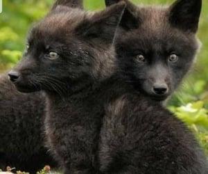 animals, black, and fox image