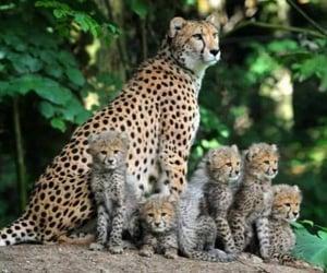 animals, cheetah, and national geographic image