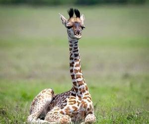 animals, doyouwantthis, and giraffe image