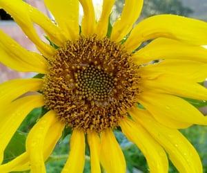 flor, natureza, and girassol image
