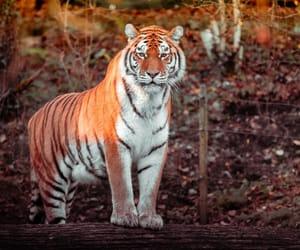 animal, big cat, and image image
