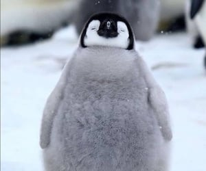 animal, penguin, and cute image