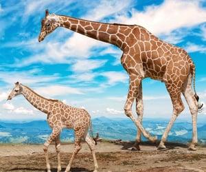 giraffes and zoo image