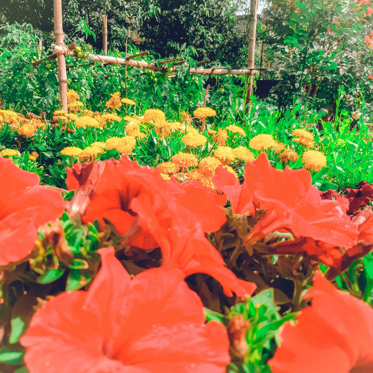 flower, marigold, and plants image