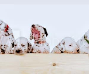 dalmatian, dogs, and pet image