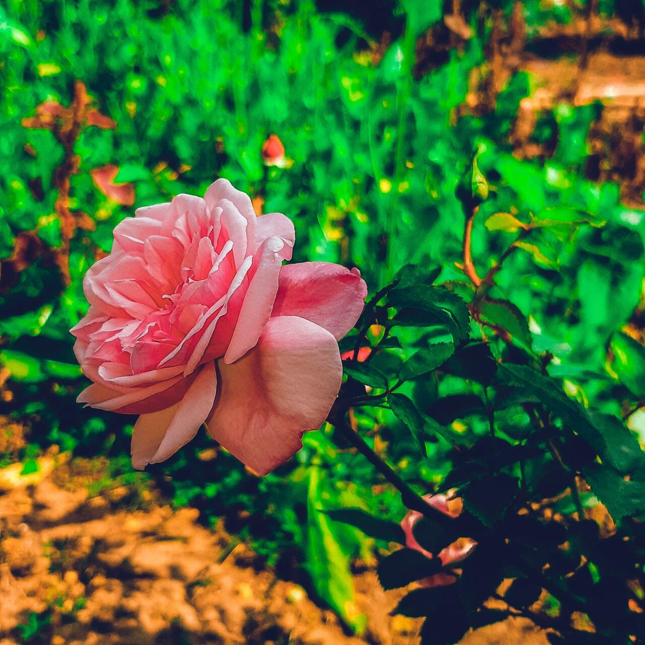 flower, garden, and violet flower image