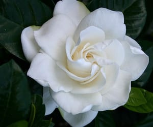 flowers, gardenia, and rose image