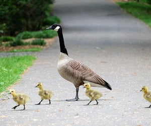 Canada Goose Mother with Goslings
