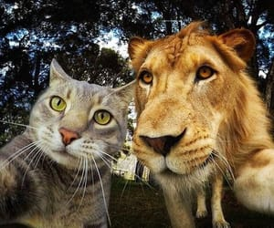 lion, the selfie cat, and kedi manny image