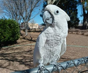 bird, parrot, and Cockatoo image