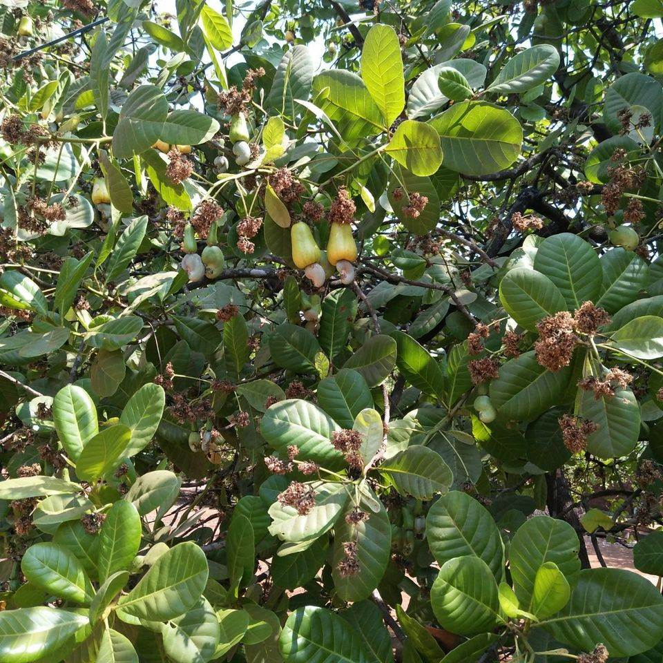 article, season, and cashew tree image