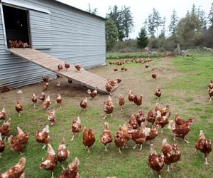 chickens, farm, and ranch image