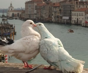 animals, cute, and pigeons image