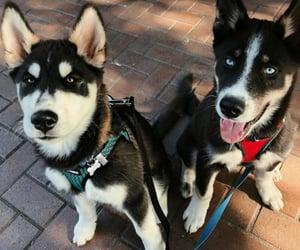 aww, dogs, and huskies image