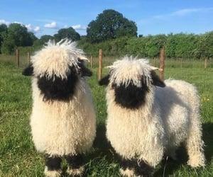 sheep, valais, and animals image