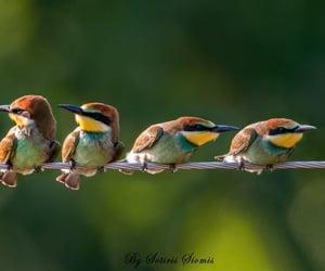 The European bee-eater (Merops apiaster) Kerkini, Greece