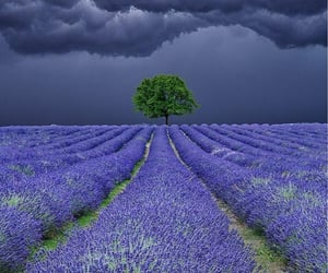 lavender, nature, and tree image