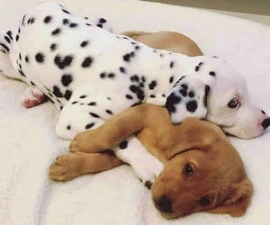 aww, dalmatian, and dogs image