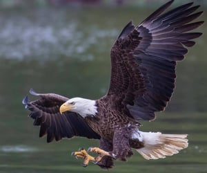 eagle, nature, and water image