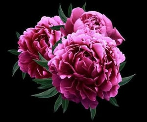 rosa and peonias image