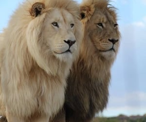 lions, Animales, and belleza image