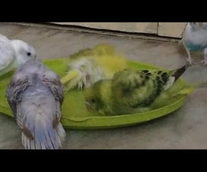 birds, budgie, and budgies image