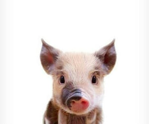 animal, aww, and pig image