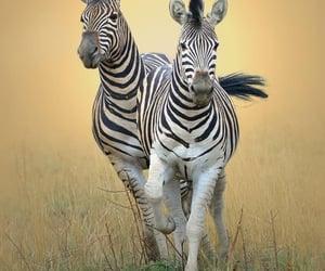 Zebras by Antoinette Kloppers