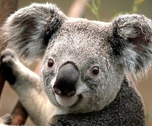 article and Koala image