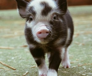 animal, aww, and pig image