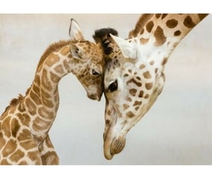 aww, giraffes, and animals image