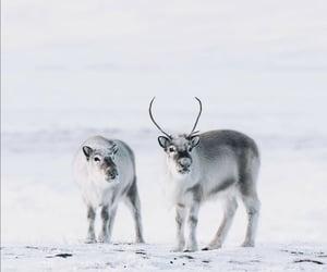 animal, reindeer, and reindeers image